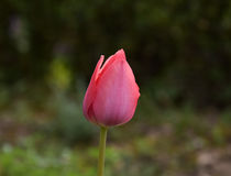 Pink tulip. Beautiful pink tulip in the garden Royalty Free Stock Photo