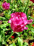 Pink tulip. Big pink tulip in the garden Royalty Free Stock Photography