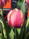Pink tulip blooms. Close up of pink tulips blooming in sunny garden Royalty Free Stock Photo
