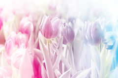 Pink tulip on blur background Royalty Free Stock Photos