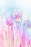 Pink tulip on blur background Royalty Free Stock Photo