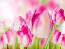 Pink tulip with bokeh. EPS 10 Stock Image