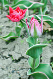Pink tulip bud Royalty Free Stock Photography