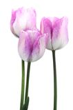 Pink tulip bulb Royalty Free Stock Image