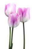Pink tulip bulb Royalty Free Stock Image