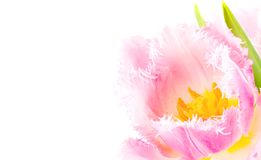 Pink tulip close-up Royalty Free Stock Images