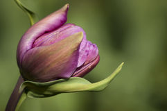 Pink tulip. Close up on green background Stock Images