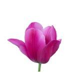 Pink tulip close up Stock Image