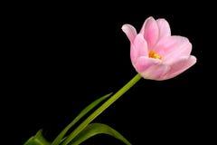 Pink Tulip Closeup Stock Photo