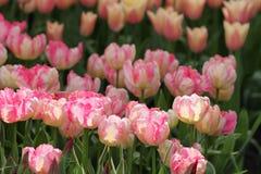 Pink tulip closeup Royalty Free Stock Photos