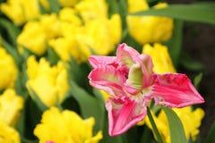 Pink tulip closeup Royalty Free Stock Images