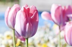 Pink tulip - RAW format Stock Photo