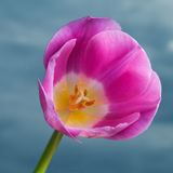 Pink tulip on cloudy sky Stock Photography