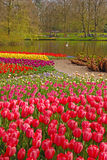 Pink Tulip with colourful Tulips in different rows behind in Keukenhof Stock Photo