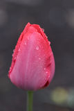 Pink tulip covered with drops after rain Stock Image