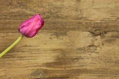 Pink tulip in detail Royalty Free Stock Image