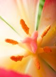 Pink tulip details Stock Images