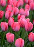 Pink tulip details Stock Photo