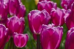 Pink tulip details Stock Photos