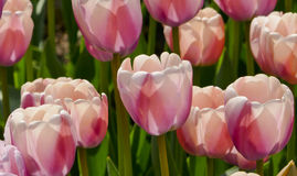 Pink tulip details Royalty Free Stock Photo