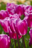 Pink tulip details Royalty Free Stock Images