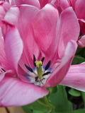 Pink tulip. A pink tulip. Details of the inside of a tulip Stock Photo