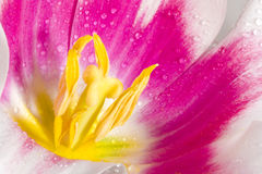 Pink tulip with dew Royalty Free Stock Image