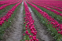 Pink Tulip Field Stock Photography
