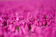 Pink tulip field Royalty Free Stock Image