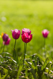 Pink tulip on field Stock Photography