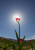 Pink tulip on field Royalty Free Stock Photography