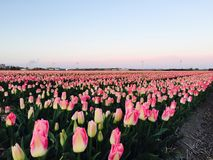 Pink tulip field Royalty Free Stock Photo