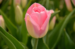 Pink tulip. In a field in Holland, Michigan Royalty Free Stock Images