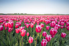 Pink tulip field III Stock Photography