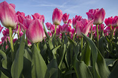 Pink tulip field IV Royalty Free Stock Images