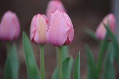 Pink Tulip Field one in focus stock images