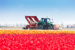 Pink tulip field and tractor works on background Stock Image