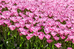 Pink tulip field Stock Photos
