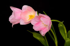 Pink Tulip Floral Arrangement Royalty Free Stock Images