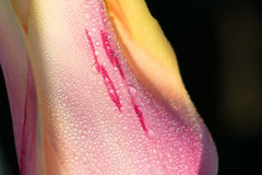 Pink Tulip Flower Abstract. Pink and darker pink blotches, Tulip flower petal Stock Photo