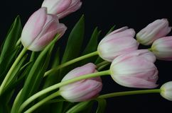 Pink tulip flower for background. Pink tulip flower on black background with copy space for text Stock Photography
