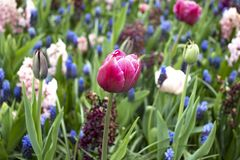 Pink tulip on the flower field royalty free stock photos