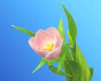 Pink Tulip flower Stock Photos
