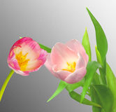 Pink Tulip flower Royalty Free Stock Photography
