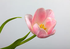 Pink Tulip flower Royalty Free Stock Photos