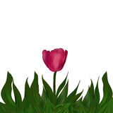 Pink Tulip flower in green leaves. Pink Tulip flower with green leaves on white background Royalty Free Stock Photos