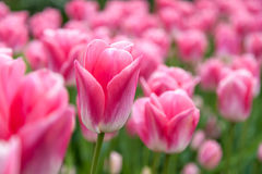 Pink Tulip Flower Royalty Free Stock Photo