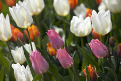 Pink tulip flower Royalty Free Stock Images