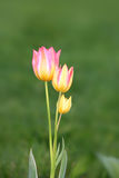 Pink Tulip flower plant Royalty Free Stock Photos