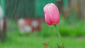 Pink tulip flower under rain stock video